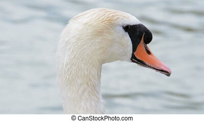 Closeup footage of a swan