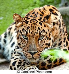 closeup, fototoestel, luipaard, het staren, gezicht