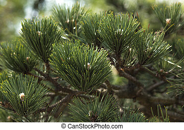 Closeup fragment of japanese pine at the city park