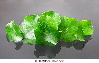 Closeup fresh leaf of Gotu kola, Asiatic pennywort, Indian pennywort on water, herb and medical concept