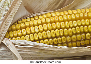 Closeup from maize ears. - Still life about agriculture with...