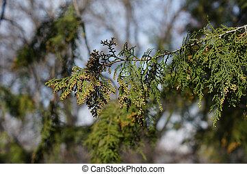 closeup, fruehjahr, cupressaceae, junger, zweig