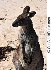 closeup, giganteus), (macropus, kangourou gris est, plage, ...