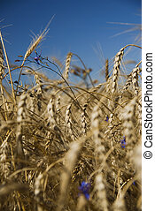 Closeup gold wheat and flowers against blue sky