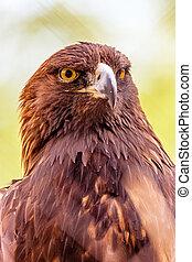 Closeup Golden Eagle Bird Green Background - Closeup shot of...