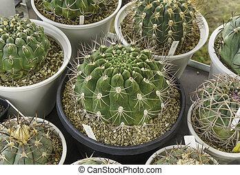 Closeup green cactus in plant pot