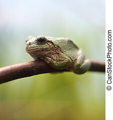 Closeup Green Tree Frog