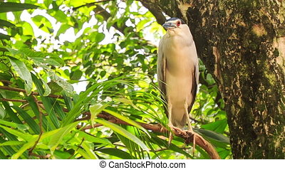 Closeup Grey Cattle Egret Sits on Tree Branch - closeup grey...