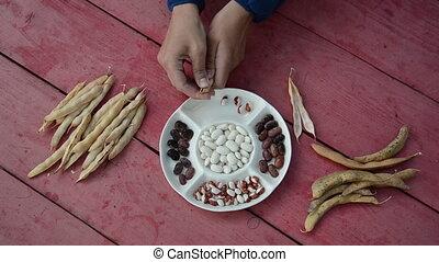 closeup hand shell bean - closeup of farmer hands shell husk...