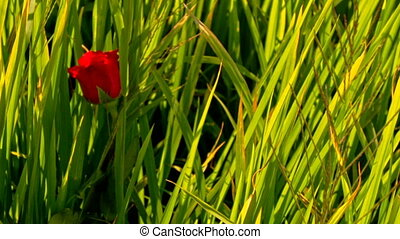 Closeup Hand Sticks Red Roses in Green Rice Field