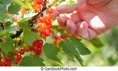 Closeup hands picking fruits of red currant berries from the bushes in the summer garden, harvest season