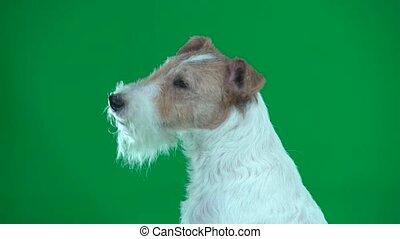 Closeup head of fox terrier. Green screen - Cose-up fox...