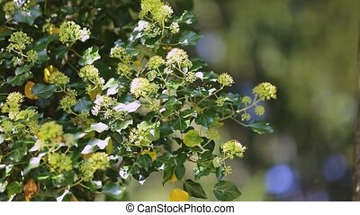 closeup honeybees collect pollen from white flowers of viburnum with fresh green leaves in springtime