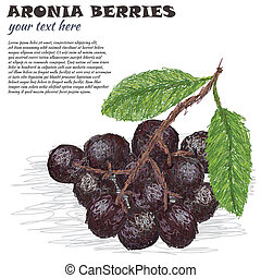 aronia - closeup illustration of fresh aronia berries or...