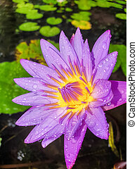 Closeup image of beautiful purple water lily covered with water droplets growing in pond