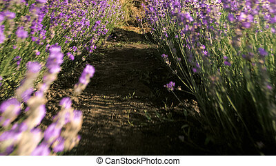 Closeup image of lavender field with blossomig flowers