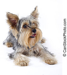 closeup image of small dog (Yorkshire terrier) over white