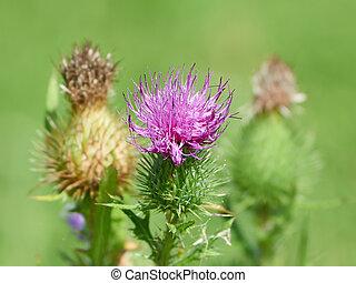 Carduus crispus - Closeup image of the Carduus crispus...