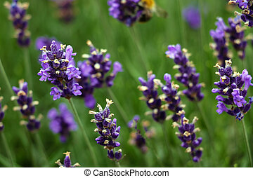 Closeup image of violet lavender flowers in the field in sunny day.
