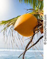 Closeup image of yellow tasty coconut frowing on hte palm ...