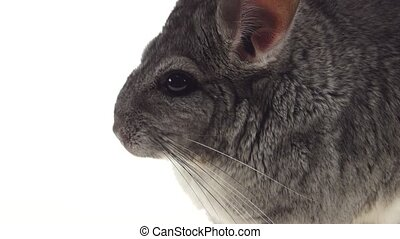 Closeup in detail gray chinchilla eating food on white background
