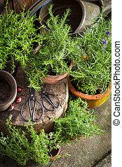 closeup, keukenkruiden, oud, tuin, fris