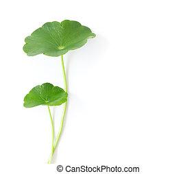 Closeup leaf of Gotu kola, Asiatic pennywort, Indian pennywort on white background, herb and medical concept