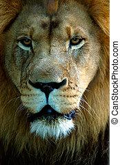 Closeup lion portrait face