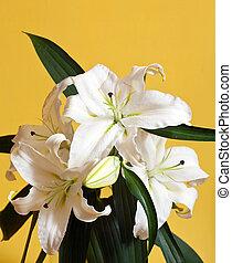 closeup, lis blanc
