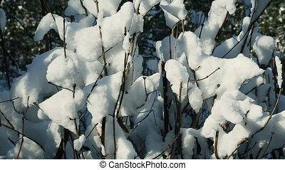 closeup low bushes covered with white snow - closeup low...