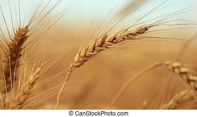 closeup, maïs, blé, vent, or