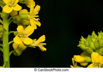 Garlic Mustard Weed Flower