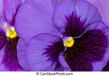 Closeup macro of Pansy flower in dark violet purple petals with yellow middle blurred background