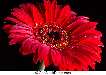 Closeup macro of red gerbera over black background