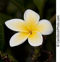 Closeup macro of yellow and white frangipani flower detail