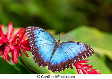 Peleides Blue Morpho on flower blossom