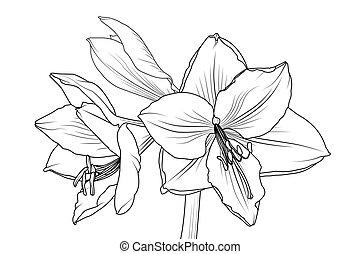 closeup, makro, lilly, ansicht, amaryllis, hippeastrum