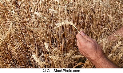 male hands with ripe wheat ears - closeup male hands with...