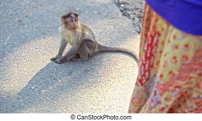 Closeup Monkey Sits on Path Scratches Head in Park - closeup...