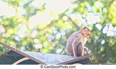 Closeup Monkey Sits Turns around Close Face with Hands in...