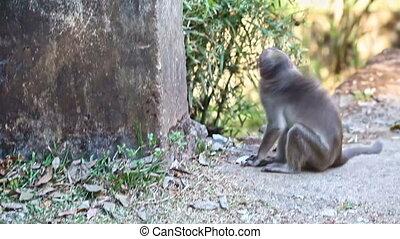 Closeup Monkey Walks along Path by Plants in Park - closeup...