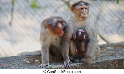 Closeup Monkeys with Cub Sit Play on Stone in Park - closeup...