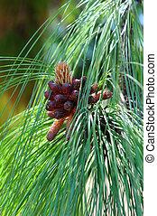 Closeup Montezuma Pine - Closeup of a pinecone forming on ...