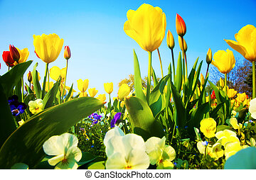 closeup, na, dużo, barwny, świeży, tulipan, kwiaty