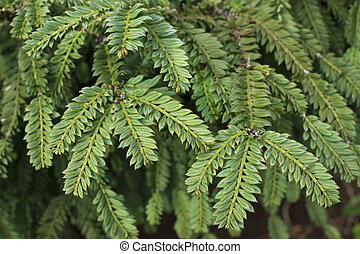 Closeup oblong pointed pine tree leaves - Closeup evergreen...