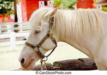 closeup, occhio, di, cavallo bianco