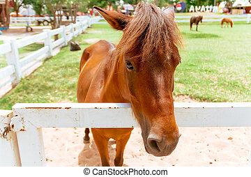 closeup, occhio, di, cavallo marrone