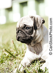 closeup of a 2 month young pug puppy
