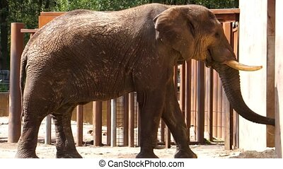 closeup of a african bush elephant walking by, Vulnerable animal specie from the savanna of africa