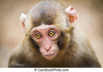 Closeup of a baby Japanese macaque
